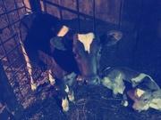 Срочно Продам коров и телят